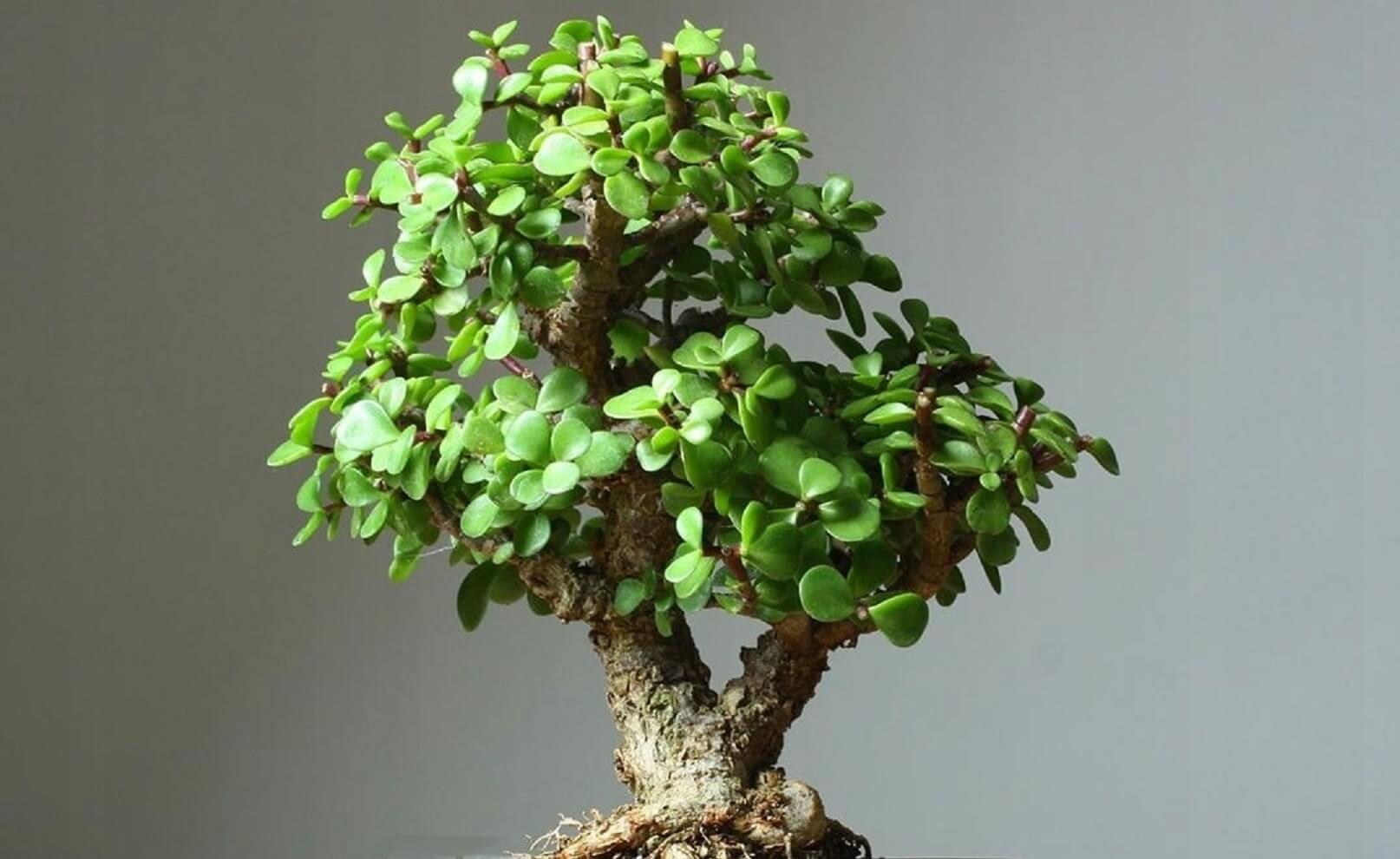 Portulacaria afra - strom bonsaj megamix.sk